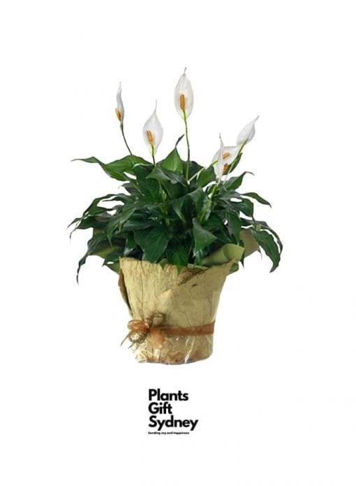 Gift Peace Lily (Spathiphyllum) plant