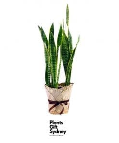 Next day delivery of Sansevieria (Mother-In-Law's-Tongue) the home office