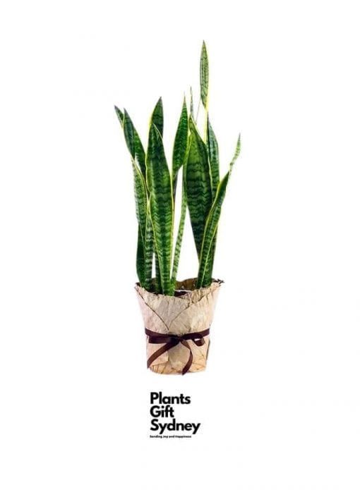 Same day delivery of Sansevieria (Mother-In-Law's-Tongue) the home office