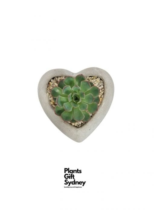 For all lovers of love, this is a beautiful potted succulent in a concrete pot