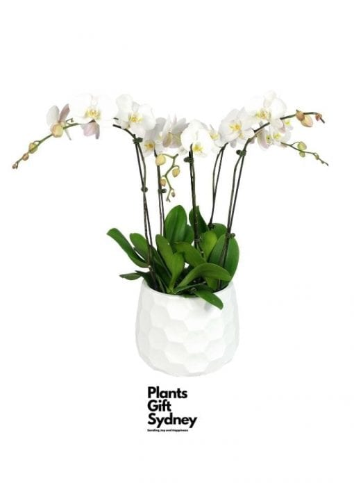 Pure. White. Bliss. This five spiked Phalaenopsis orchids is made from separate living plants that are re-potted in an beautiful honeycomb ceramic pot.