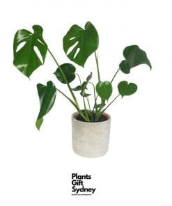 Monstera Deliciosa In A Concrete Pot