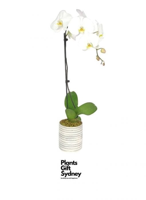 This elegant classic, the white single-spiked Phalaenopsis Orchid, makes a perfect centrepiece