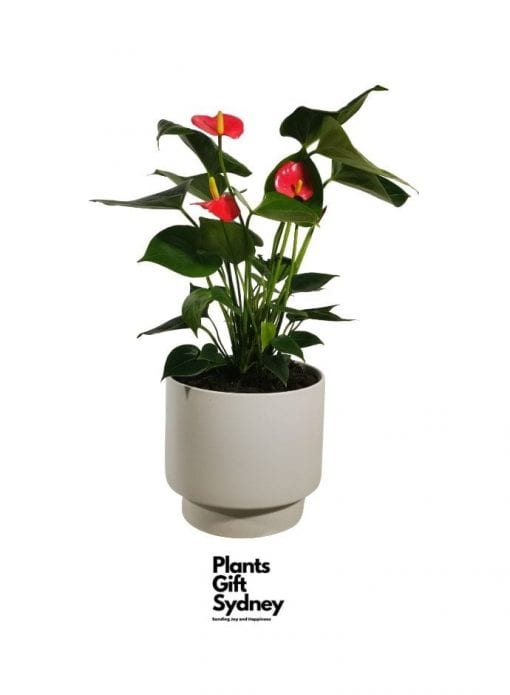 This Bright Red Pink Anthurium Plant | Blooming with exotic colour