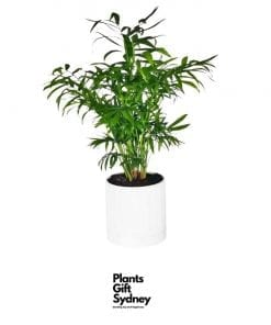 PARLOUR PALM In DIAMOND POT WITH SAUCER